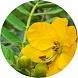 liście senny (senna mill)