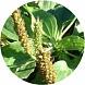łupiny nasion babki (Plantago)