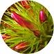 pąki goździka (Dianthus)