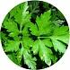 pietruszka (Petroselinum C.)