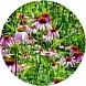 jeżówka (Echinacea)